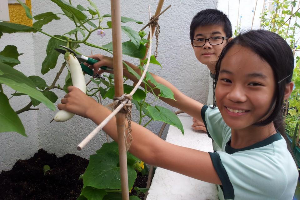 「百佳綠色學校計劃」參與學校的學生在收割自己種植的農產品